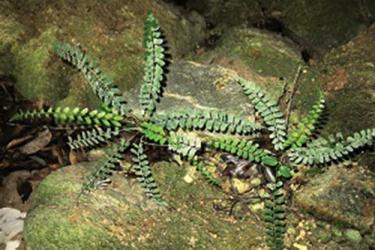 Dương xỉ Polystichum quangbinhense - loài mới cho khoa học